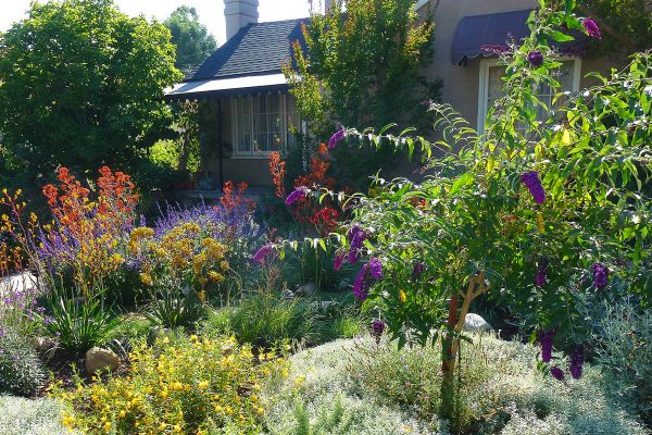 after-beautiful-pollinator-garden-home-residence-landscape-angeles-drought-sustainable-butterfly-bush-tree-summer-spring-InSite-Landscape-Design-1-600x400