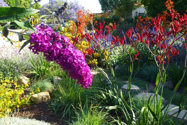 beautiful-pollinator-flower-garden-landscape-angeles-drought-sustainable-butterfly-bush-red-kangaroo-paw-spring-InSite-Landscape-Design-1-600x400